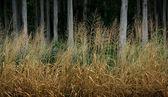 Golden hay background — Stock Photo