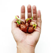 Shallots bulb in hand — Stock Photo