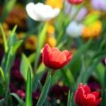 Nice tulip in garden — Stock Photo #46688973