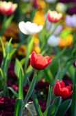 Nice tulip in garden — Stock Photo
