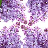 Leylak çiçeği — Stok fotoğraf