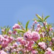 Spring Cherry blossom — Stock Photo