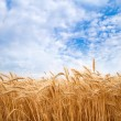 Golden wheat field — Stock Photo #30801393