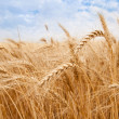 Golden wheat field — Stock Photo #30801707