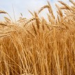 Golden wheat field — Stock Photo #30802751