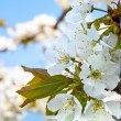 Cherry blossoms on the blue background — Stock Photo #42561697
