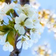 Cherry blossoms on the blue background — Stock Photo #42561815