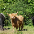 Cow cattle — Stock fotografie