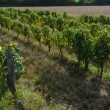 Stock Photo: vineyards