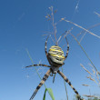 Stock Photo: Argiope