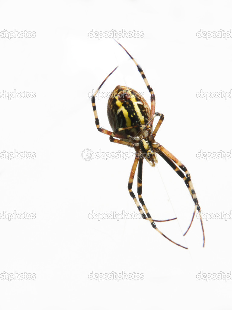 Argiope — Stock Photo #15705937