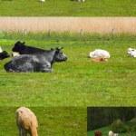 Farm animal — Stock Photo