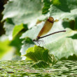 Dragonfly — Stock Photo #33226311