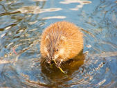Hungry muskrat — Stock Photo