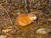 Cautious nutria — Stock Photo
