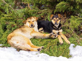Dogs resting together under spruce — Stock Photo