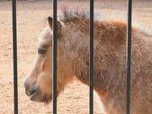 Pony in captivity — Stock Photo