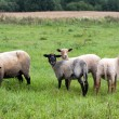 Stock Photo: Black headed sheeps