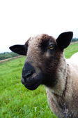 Black headed sheep head — Stock Photo