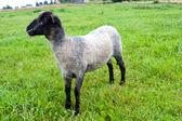 Black headed sheep — Stock Photo