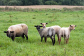 Black headed sheeps — Stock Photo