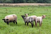 Black headed sheeps — Stock Photo