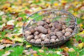 Basket of harvested fresh potatoes on autumn leaves — Stock Photo