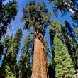 Royalty-Free Stock Photo: The General Sherman is a giant sequoia tree located in the Giant Forest of Sequoia National Park