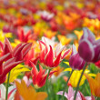 Colourful tulips — Stock Photo