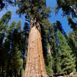 The General Sherman is a giant sequoia tree located in the Giant Forest of Sequoia National Park — Stock Photo