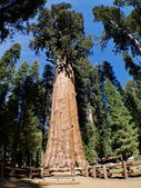 The General Sherman is a giant sequoia tree located in the Giant Forest of Sequoia National Park — Stok fotoğraf