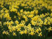 Narciso — Fotografia Stock