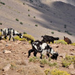 Stock Photo: Goats graze on hill