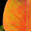 Stock Photo: Sun shines trough autumn leaf