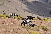 Goats graze on the hill — Stock Photo
