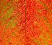 Sun shines trough an autumn leaf — Foto Stock