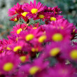 Stock Photo: Purple flowers with shallow depth of field