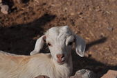 Young white goat looking in to the camera — Stok fotoğraf