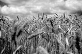 Wheat field in black and white — Stock Photo