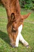Junge fohlen weiden grüne gras — Stockfoto