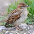Female House Sparrow (Passer domesticus) — Stock Photo