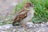 Female House Sparrow (Passer domesticus) — Stockfoto