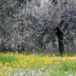 Olive grove in spring time — Stock Photo