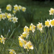 Stock Photo: Yellow daffodils on meadow
