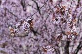 Lush Japanese cherry blossoms — Stock Photo