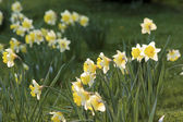 Yellow daffodils on a meadow — Stock Photo