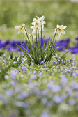 Daffodils on a meadow — Stock Photo