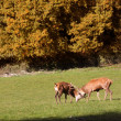 Red deer on forest glade — Stock Photo