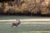 Male red deer in a forest clearing — Stock Photo