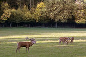 Male red deer during the rutting — Stock Photo